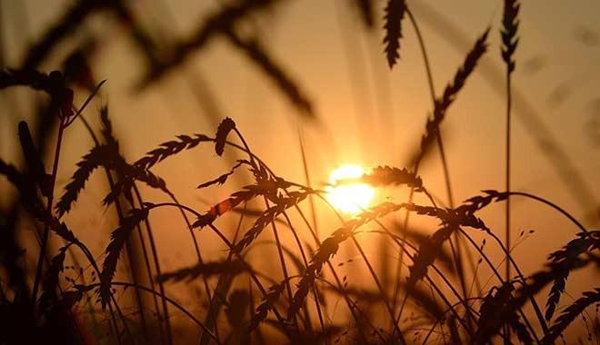 TMO'ya buğday, arpa, mısır, pirinç ve kuru baklagil için ithalat yetkisi
