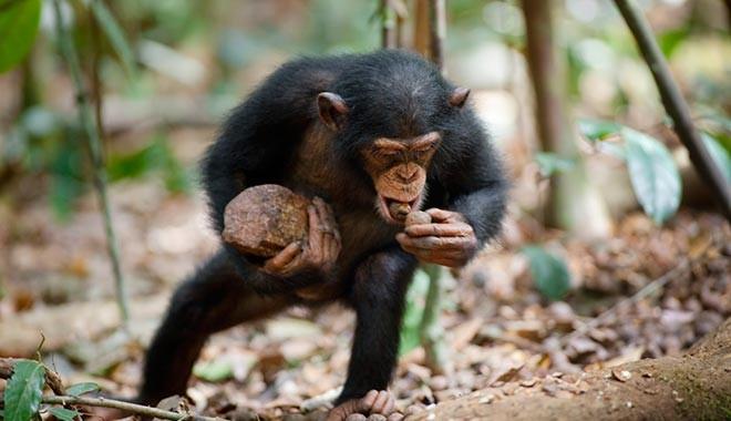 İngiltere'de bazı zenginler düğünlerde şempanze eti yiyor